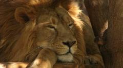 Awakening of a lion close up, lying on wood platform on tree shadow background. - stock footage