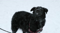 Black Dog Shaking Snow Blizzard Mut Playing Snowing Slow Motion 4K Red Dragon Stock Footage