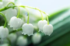 Close up of Lily of the valley Stock Photos