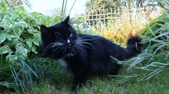 Black cat chewing the grass in the bush Stock Footage