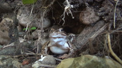 Close up with a frog in natural environment looking to camera, Wild animals. Stock Footage