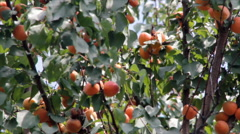 Mature apricot on the tree Stock Footage