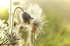 Pulsatilla blossom  - stock photo
