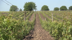 Zoom in shooting, culture of vines, agriculture farm, vineyard, food and drink. - stock footage
