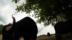 Buffalo against the gray sky and green plants and sky Stock Footage