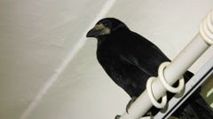 Crow on window curtain Stock Footage