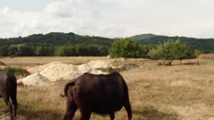 Buffalo on the dry grass beige, green hills in the distance Stock Footage