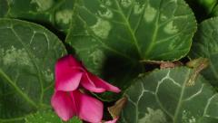 Cyclamen Flower Time-lapse Stock Footage