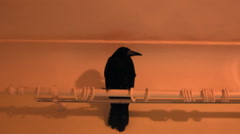 Black crow on cornices Stock Footage