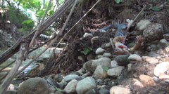 Snake eating a frog on the side of a mountain river. Frog swallowed by a snake. Stock Footage