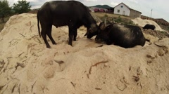 Stock Video Footage of buffalo calf butting with his father lying on the sand, backdrop of buildings