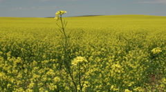 Canola Fields with Focus Pull Stock Footage