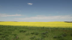 Wide shot of Canola Fields in summer Stock Footage