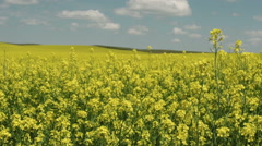Yellow Canola Flowers in a Field with Focus Pull Stock Footage