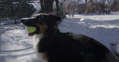 Australian Shepherd Dog Playing Like a Puppy in the Snow Stock Footage
