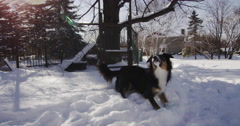 Slow Motion Australian Shepherd Dog Playing with Ball in Snow Stock Footage