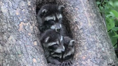 Three baby raccoons in a tree hollow Stock Footage