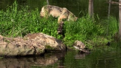 Timber wolf and two wet pups Stock Footage