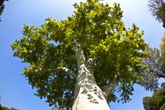 Beautiful old plane tree in the Park Stock Photos