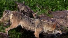 Close up of wet Timber wolf and two pups Stock Footage