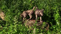 Adorable two wet wolf pups on a rock - stock footage