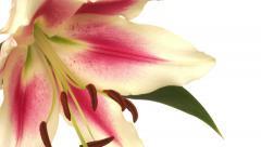 Stargazer Lily Flower Time-lapse Stock Footage