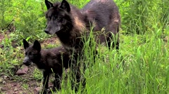 Stock Video Footage of Timber wolf and four pups in the rain