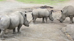 Cub Southern White Rhinoceros with mother and father Stock Footage
