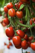 Tomato nearly to be harvested - stock photo