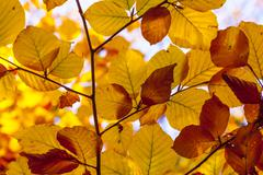Beautiful leaves in indian summer light in autumn Stock Photos