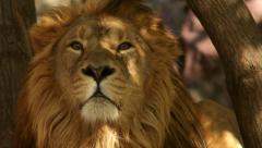 Eye contact with lion with sunshine spots on golden head. Stock Footage