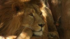 Awakening of a lion with sunshine spots on golden head. Stock Footage