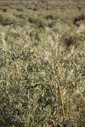 Olive trees in garden Stock Photos