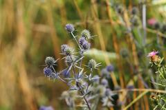 wild flat sea holly closeup growing on a meadow - stock photo