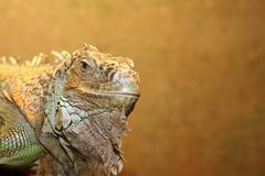 portrait of a green iguana in a terrarium - stock photo