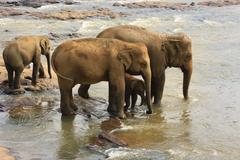 Stock Photo of Family of Indian elephants