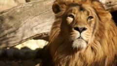 Head of sunlit drowsy lion, lying on fallen tree background and looking around. Stock Footage