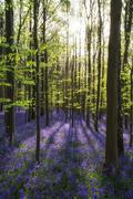 Stock Photo of Beautiful morning in Spring bluebell forest with sun beams through trees