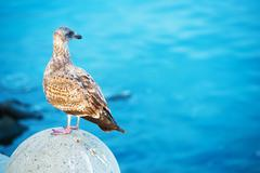 Seagull on the Blue Sea Background - stock photo