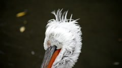 Winded head close up of a preening Dalmatian pelican, Pelecanus crispus Stock Footage