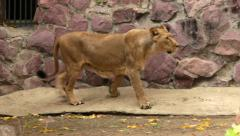 Young excited lioness in soft light, drawing figure-of-eight - stock footage