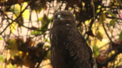 A perching lesser spotted eagle, aquila pomarina, looking around Stock Footage