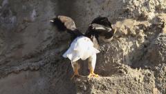 Landing of Steller's sea eagle, Haliaeetus pelagicus, on rock ledge. Stock Footage