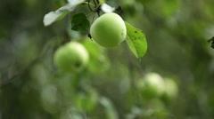 Apple tree harvest, green apples. Stock Footage