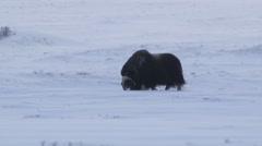 Lonely Muskox in winter scenery feeding Stock Footage