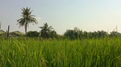 Rice fields with windy Stock Footage