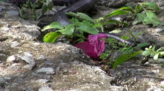 A Pipe Snake Eating A Pit Viper - 8 Arkistovideo