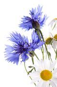 The beautiful cornflower and daisy isolated - stock photo