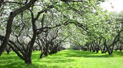Beautiful blossoming apple-tree garden Stock Footage