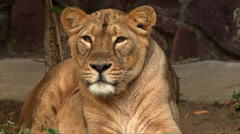 Face of calm lioness in sunset soft light, lying on red stone wall background. Stock Footage